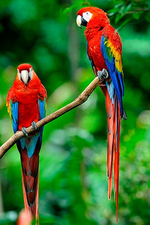 Red Wing Macaw South America Endangered