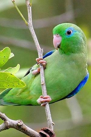Parrotlet Peru & Ecuador Endangered