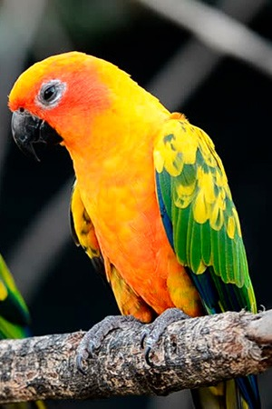 Sun Conure South America Endangered