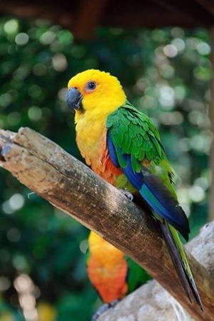 Jenday Conure Brazil Endangered