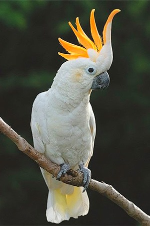 Citron Crested Cockatoo Indonesia Endangered