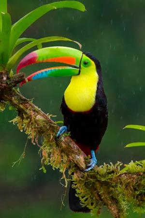 Keel Billed Toucan Mexico, Venezuela & Colombia