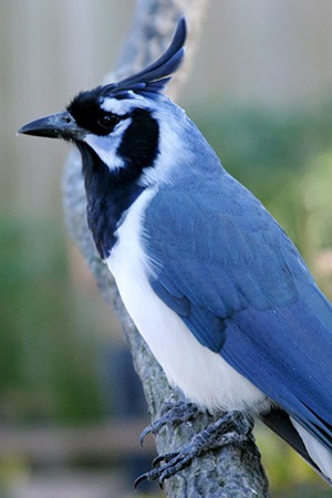 Black Throated Magpie Northwest Mexico Threatened