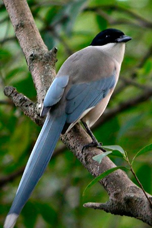Azure Winged Magpie Portugal, Japan, China