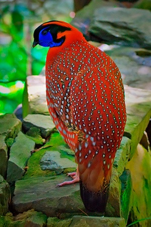 Red Indian Pheasant Asia