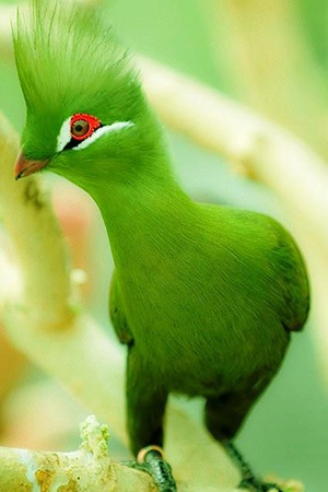 Guinea Turaco West and Central Africa
