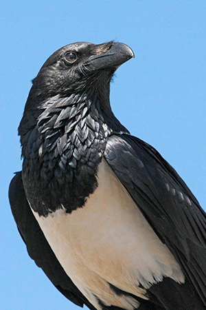 African Pied Crow Africa