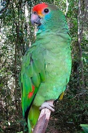 Orange Cheeked amazon South America Near Threatened