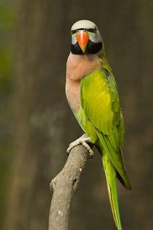 Mustache Parakeet South Asia Near threatened