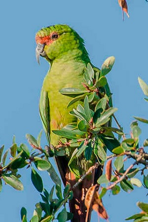 Slender Billed Conure Southern Chili