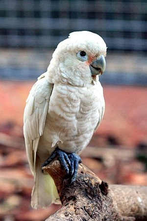 Goffin's Cockatoo Tanimbar Islands Indonesia Near Threatened