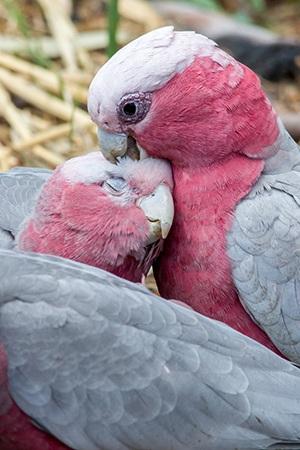 Rose Breasted Cockatoo Mainland Australia