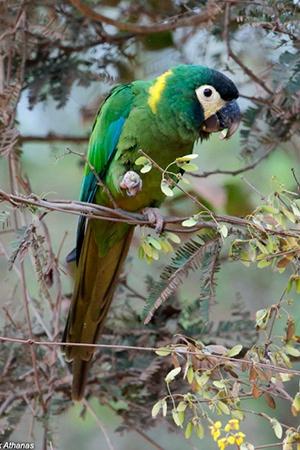Yellow Collar Macaw Brazil