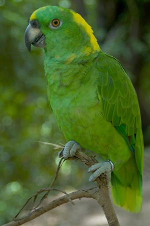 Yellow Naped Amazon Mexico and Costa Rica Vulnerable