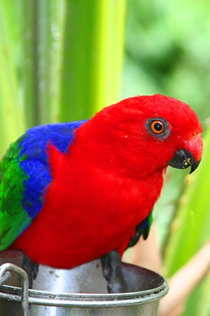 Ambonia King Parrot Maluku and Indonesia