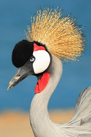 African Crowned Crane Africa Endangered