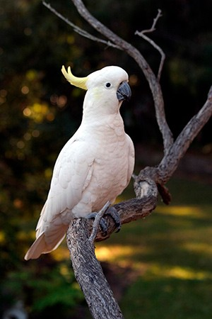 Sulfur Crested Cockatoo Australia & New Guinea
