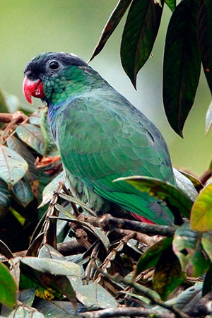 Great Billed Parrot South East Asian Islands