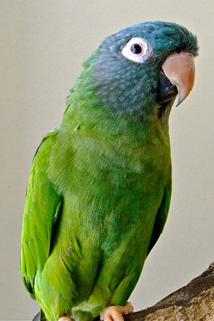 Blue Crown Conure Eastern Colombia