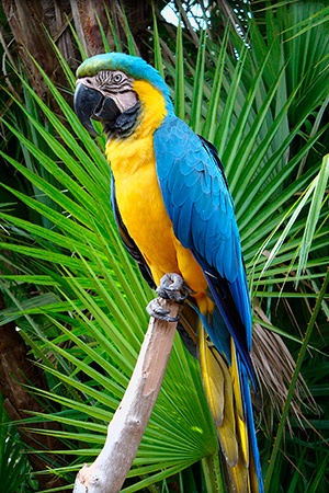 Blue & gold Macaw South America Endangered