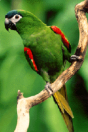 White Capped Amazon Central America