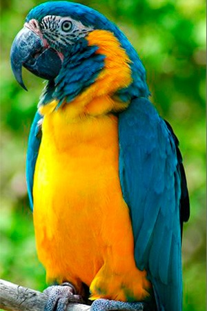 Blue Throat Macaw Bolivia Endangered