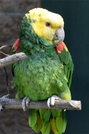 Double Yellow Headed Amazon Mexico Endangered